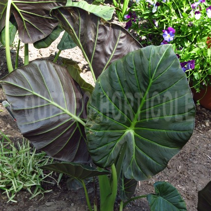 image de Alocasia Regal Shields