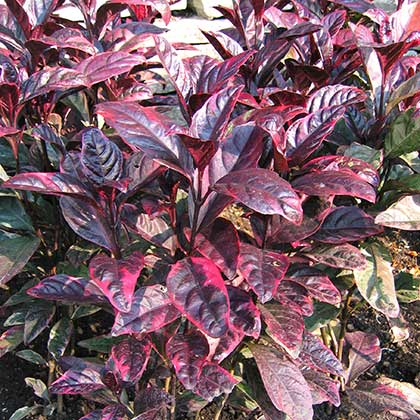image de Alternanthera Brazilian Red Hots