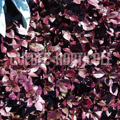 image de Alternanthera Purple Prince