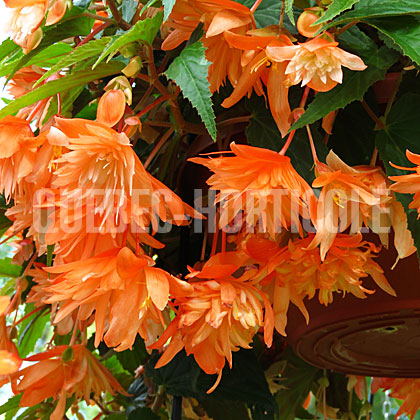 image de Begonia Belleconia™ Soft Orange