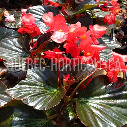 image de Begonia Big™ Red with Bronze Leaf