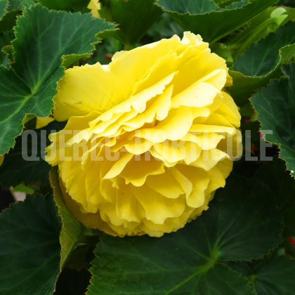 image de Begonia Nonstop® Joy Yellow