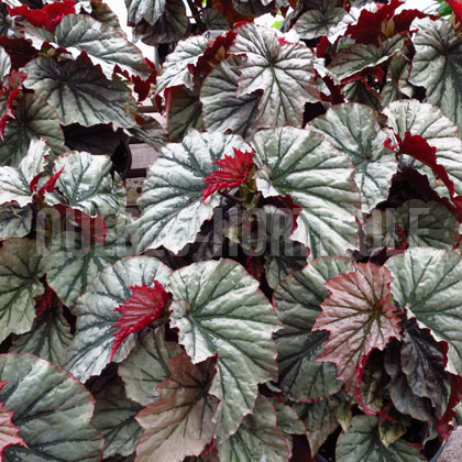 image de Begonia Looking Glass