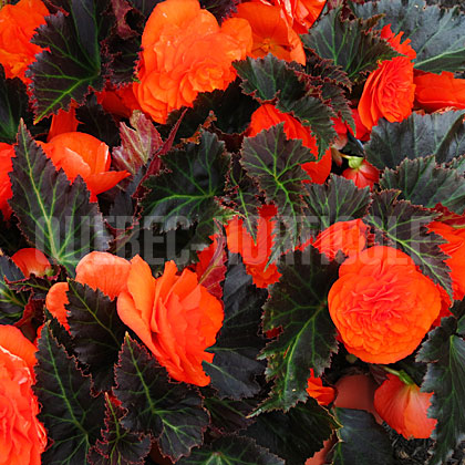 image de Begonia Nonstop® Mocca Bright Orange