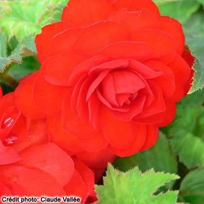 image de Begonia New Star® Red