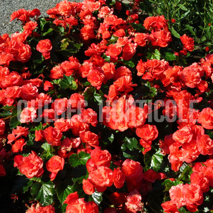 image de Begonia Solenia® Orange