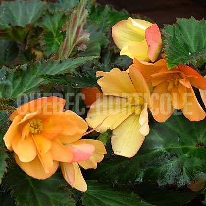 image de Begonia Unbelievable™ Lucky Strike