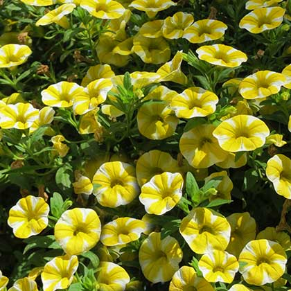 image de Calibrachoa Superbells® Lemon Slice
