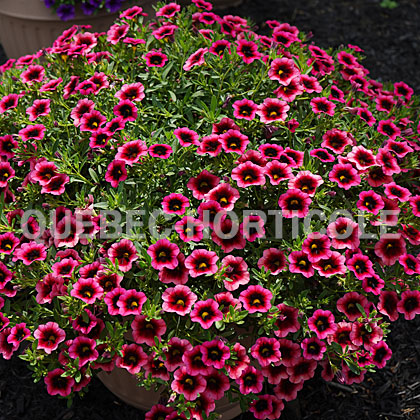 image de Calibrachoa Superbells® Watermelon Punch™