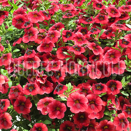 image de Calibrachoa Superbells® Pomegranate Punch
