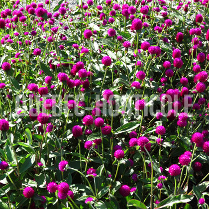 image de Gomphrena Ping Pong Purple