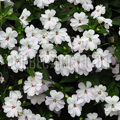 image de Impatiens Big Bounce™ White