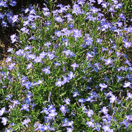 image de Lobelia Hot Springs Sky Blue