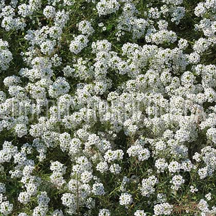 image de Lobularia Snow Princess®
