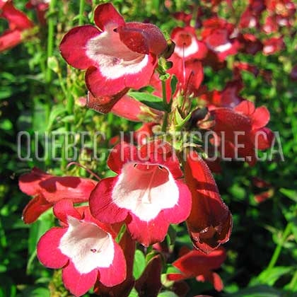 image de Penstemon Phoenix Red