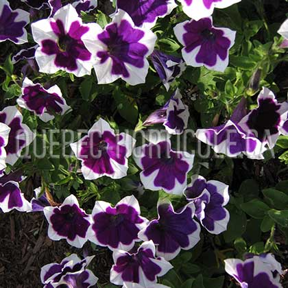 image de Petunia Rhythm & Blues