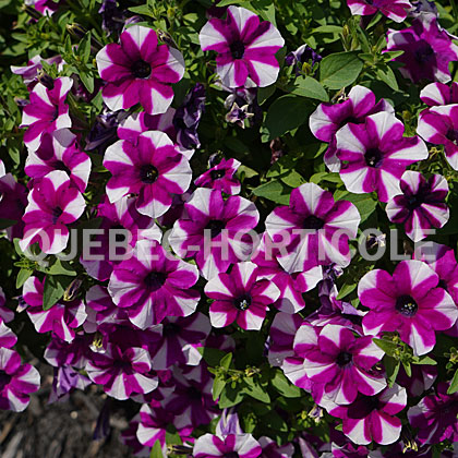 image de Petunia Shortcake™ Blueberry