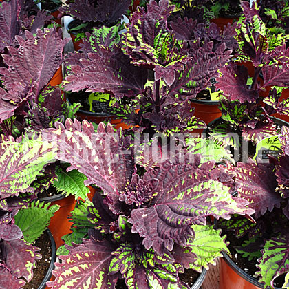 image de Plectranthus Under the Sea™ Fish Net