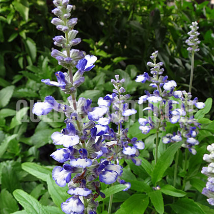 image de Salvia farinacea Cathedral Shining Sea