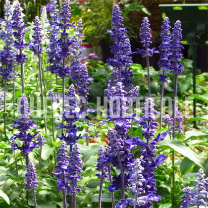 image de Salvia farinacea Mannequin Blue Mountain