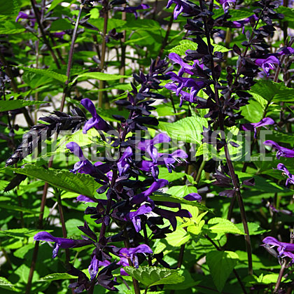 image de Salvia Rockin® Deep Purple