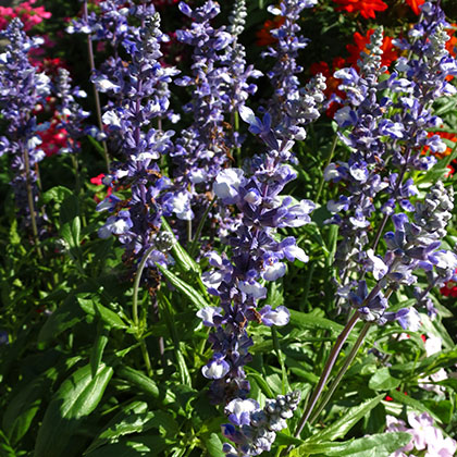 image de Salvia farinacea Fairy Queen
