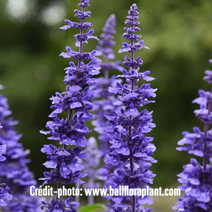 image de Salvia Mystic Spires Improved