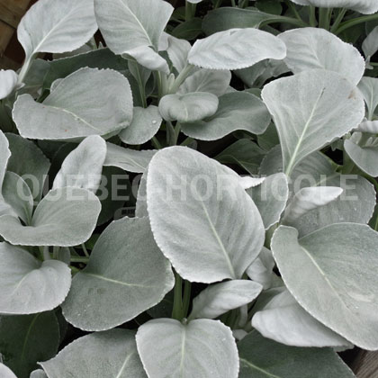 image de Senecio candicans  Angel Wings™