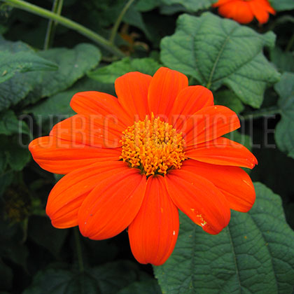 image de Tithonia rotundifolia Arcadian Blend