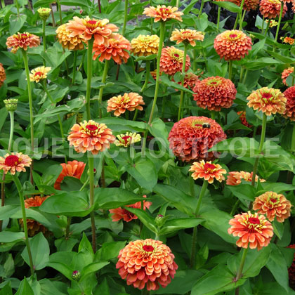 image de Zinnia Queeny Lime Orange