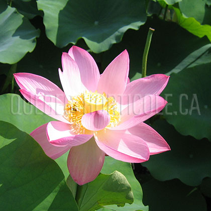 image de Nelumbo sp.