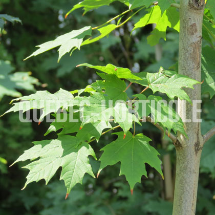 image de Acer saccharum Green Mountain
