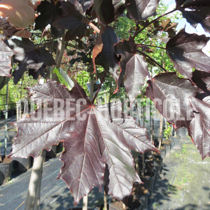 image de Acer platanoides Royal Red