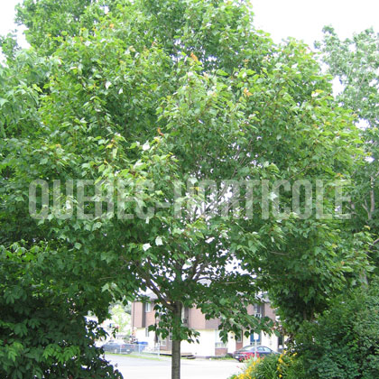 image de Acer rubrum Northwood