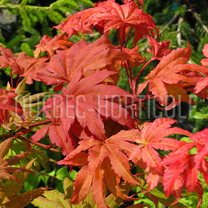 image de Acer shirasawanum Autumn Moon