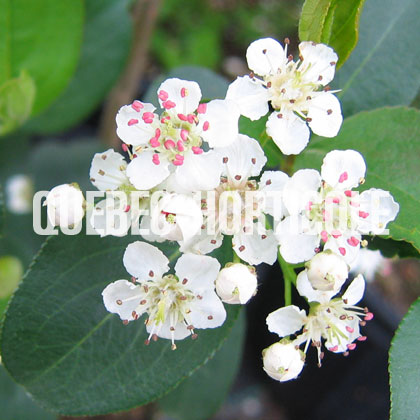 image de Aronia melanocarpa Autumn Magic
