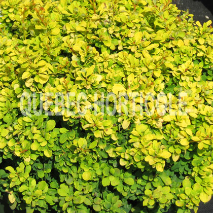 image de Berberis thunbergii Golden Nugget