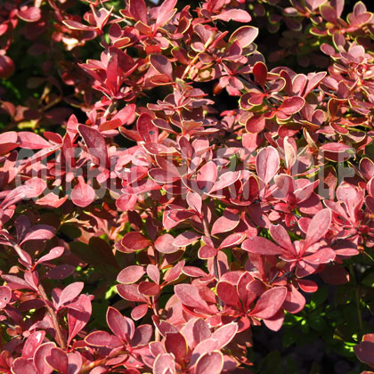 image de Berberis thunbergii Red Carpet