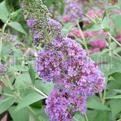 image de Buddleia English Butterfly™ Peacock