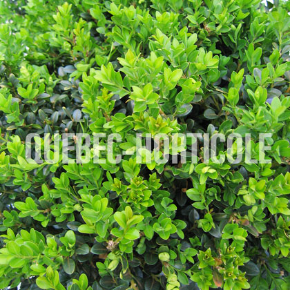 image de Buxus Green Beauty