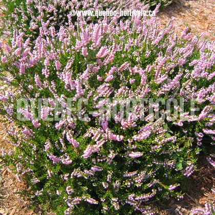 image de Calluna vulgaris County Wicklow