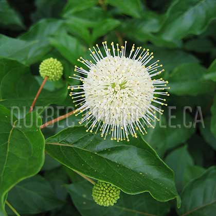image de Cephalanthus occidentalis