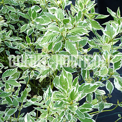 image de Cornus sericea Silver and Gold