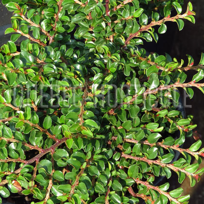 image de Cotoneaster Tom Thumb ou Little Gem