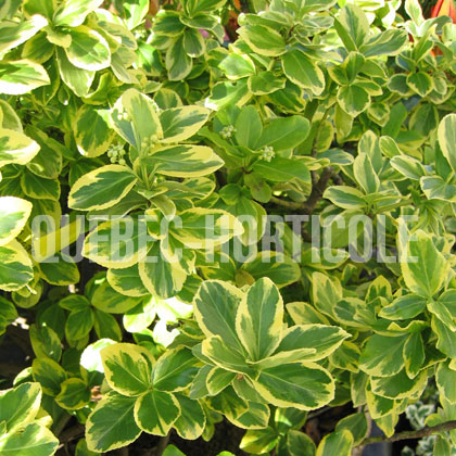 image de Euonymus fortunei Country Gold