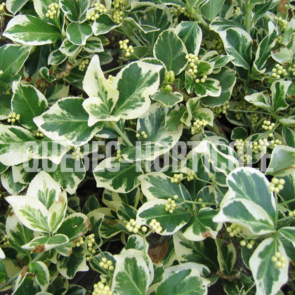 image de Euonymus fortunei Emerald Gaiety