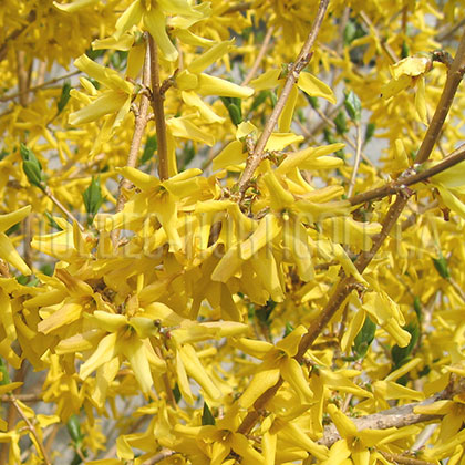 image de Forsythia Northern Gold