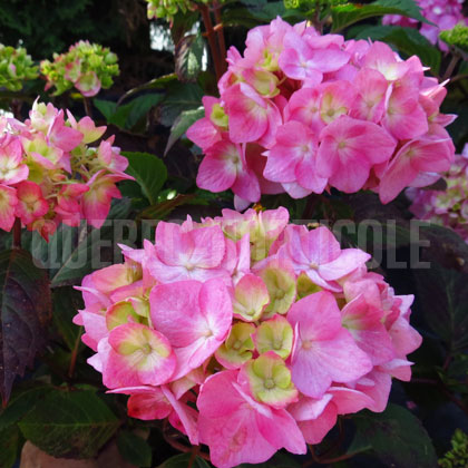image de Hydrangea macrophylla Endless Summer® BloomStruck