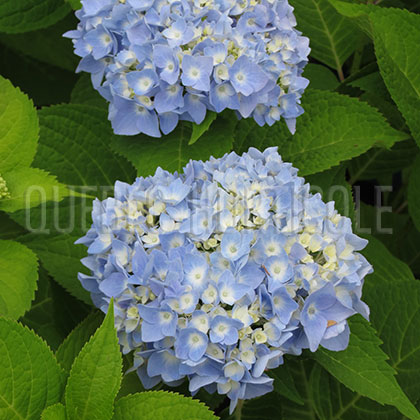 image de Hydrangea macrophylla Endless Summer® The Original