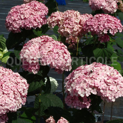 image de Hydrangea arborescens Incrediball® Blush